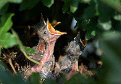 Aus dem Nest gefallen? – Umweltamt gibt Tipps zum Umgang mit Jungvögeln