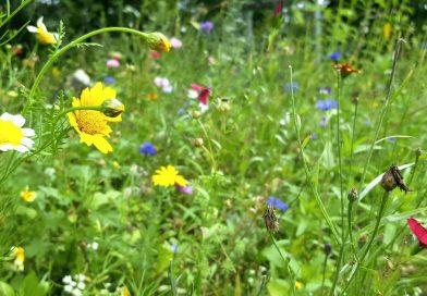 Jetzt Wildblumen aussäen – Oasen für Insekten schaffen